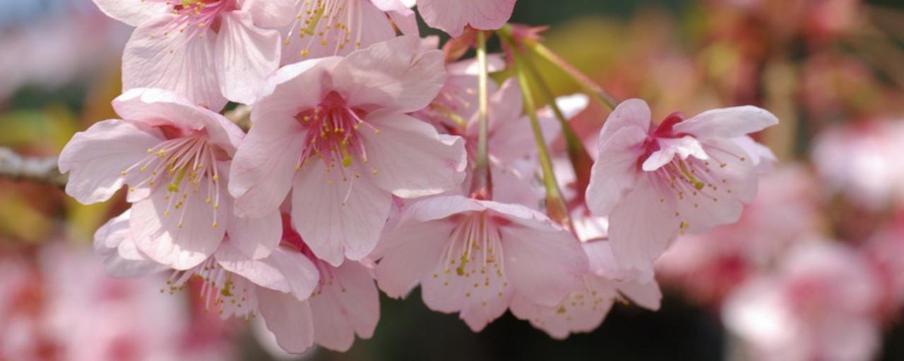 Japon: Bajo los cerezos enflor