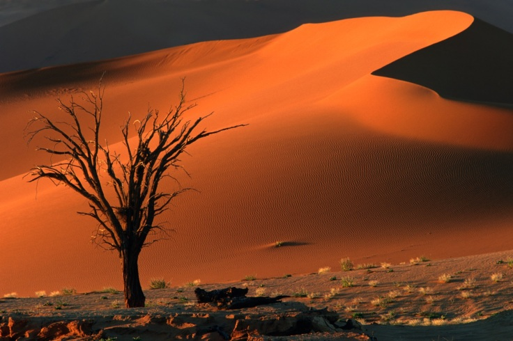 Dead camel thorn tree and dune, late afternoon, Sossusvlei, Namibia